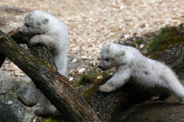 polar bear cups at Tierpark Hellabrunn in Munich 7