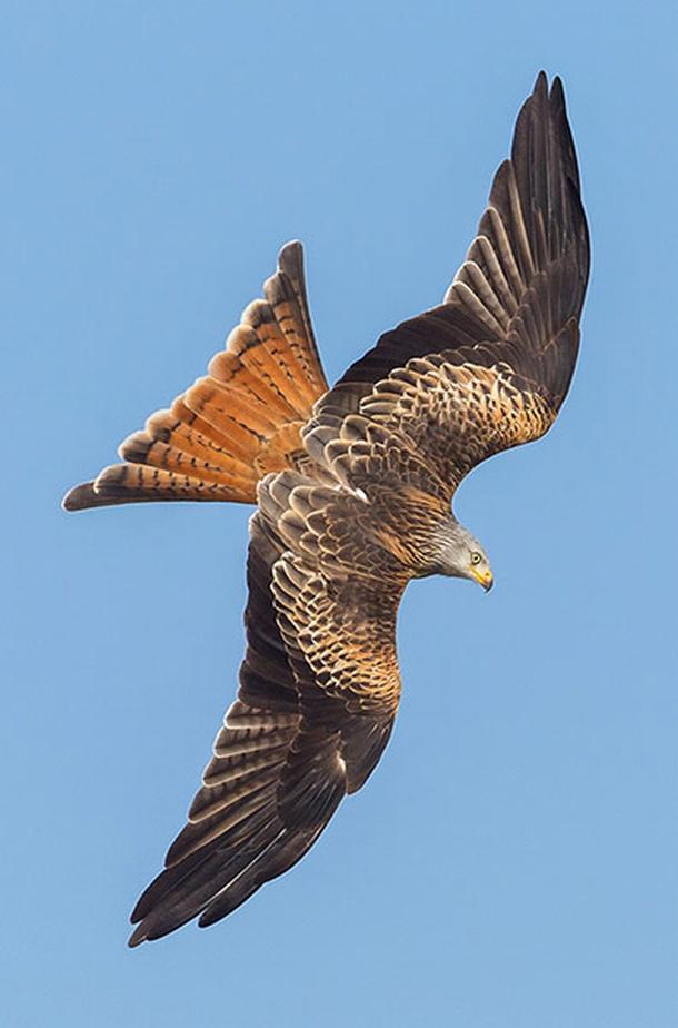 Red kites, Wales - 05 Mar 2013