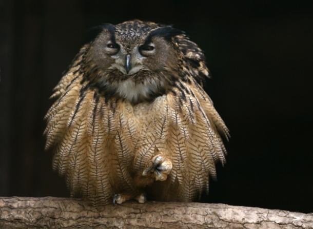 An eagle owl fluffs