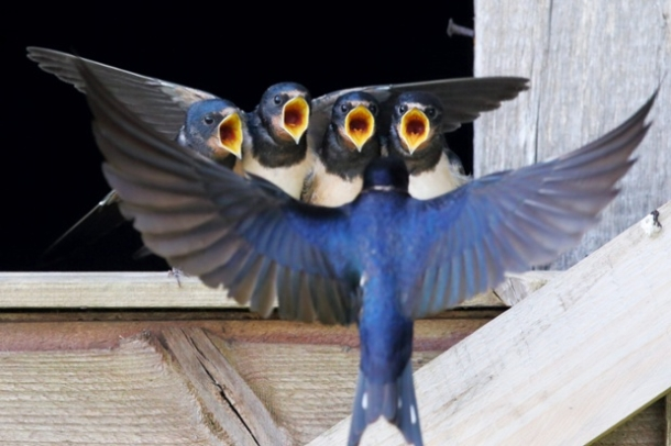 swallow 'choir'