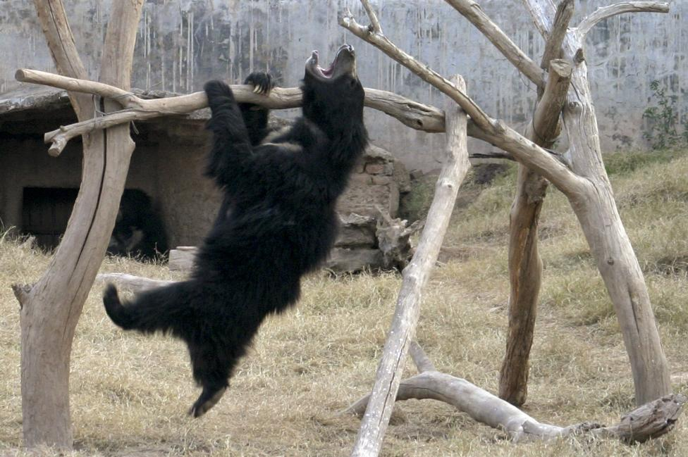An Asiatic black bear plays inside its enclosure in a zoo on the outskirts of Chandigarh