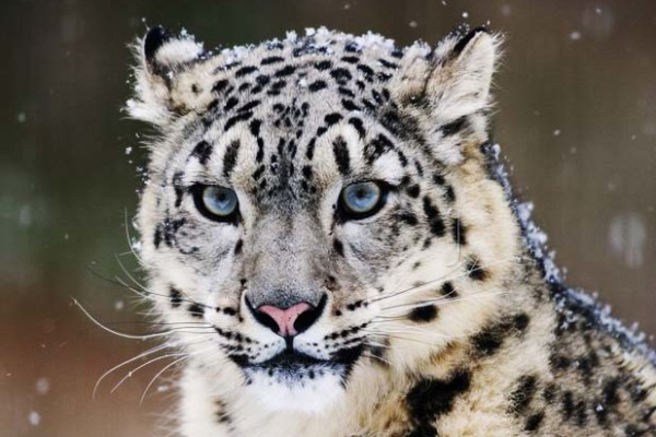 Snow leopard  Wikipedia