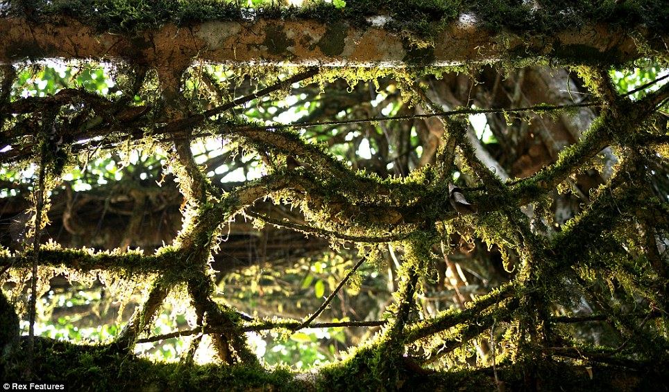 Living root bridges of meghalaya 11