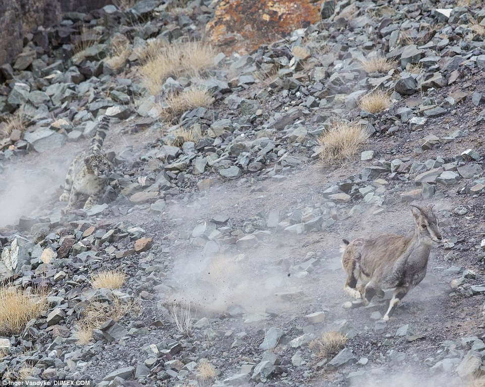 Snow leopard spotted in Ladakh