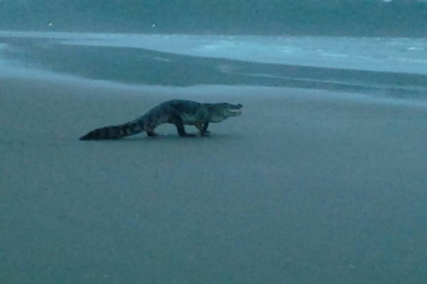 crocodile on indian beach