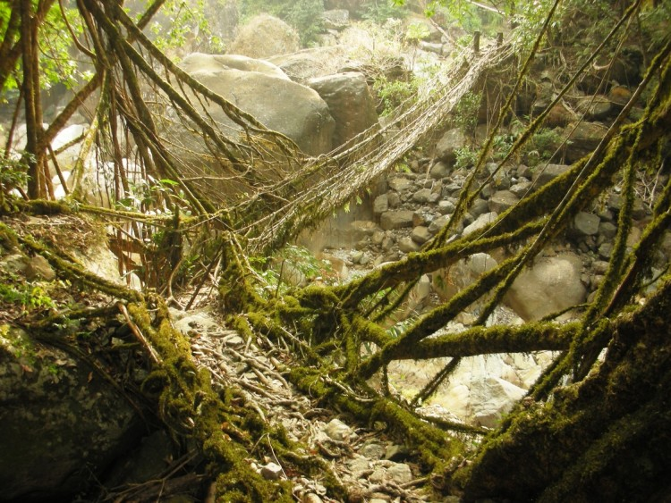 living-root-bridges