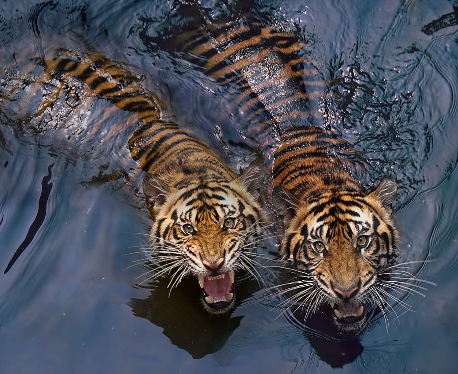 Amazing Tiger photographs 12