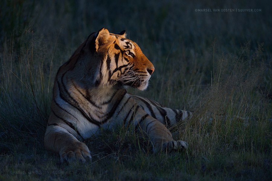 Amazing Tiger photographs 27