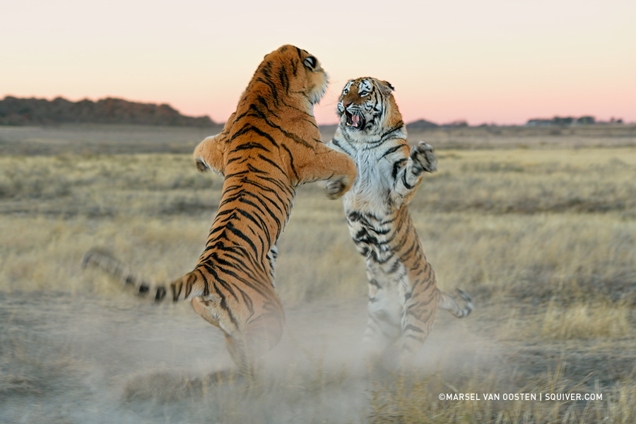 Amazing Tiger photographs