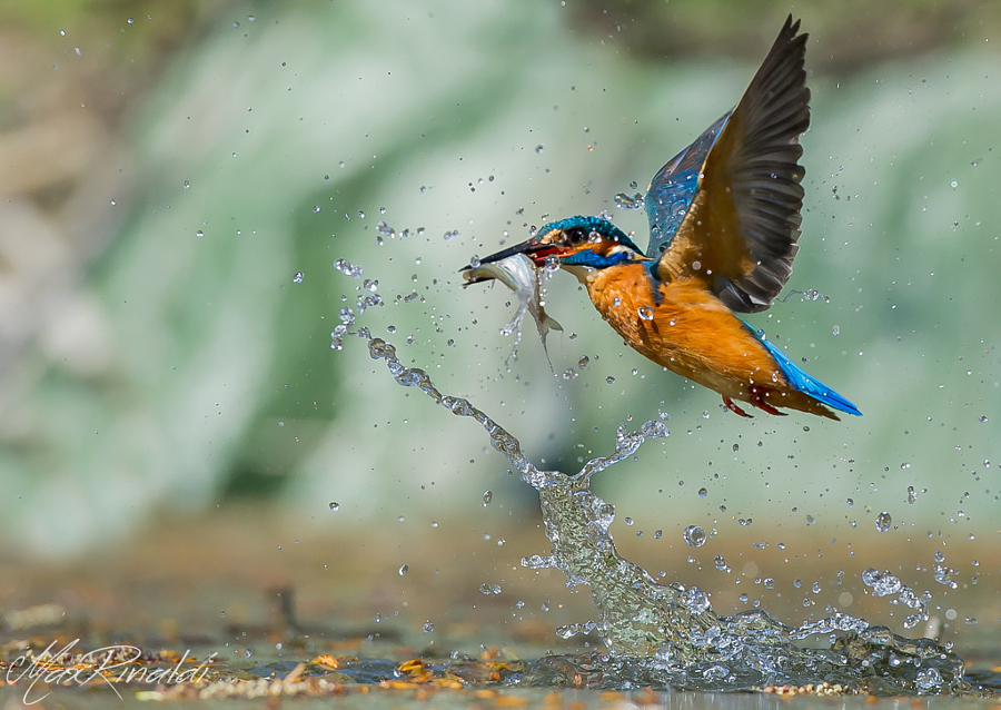 Amazing kingfisher images 2