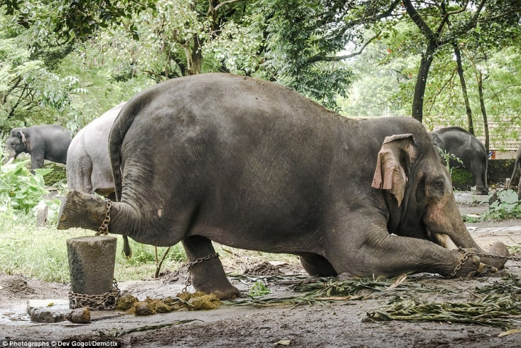 Elephant torture in India