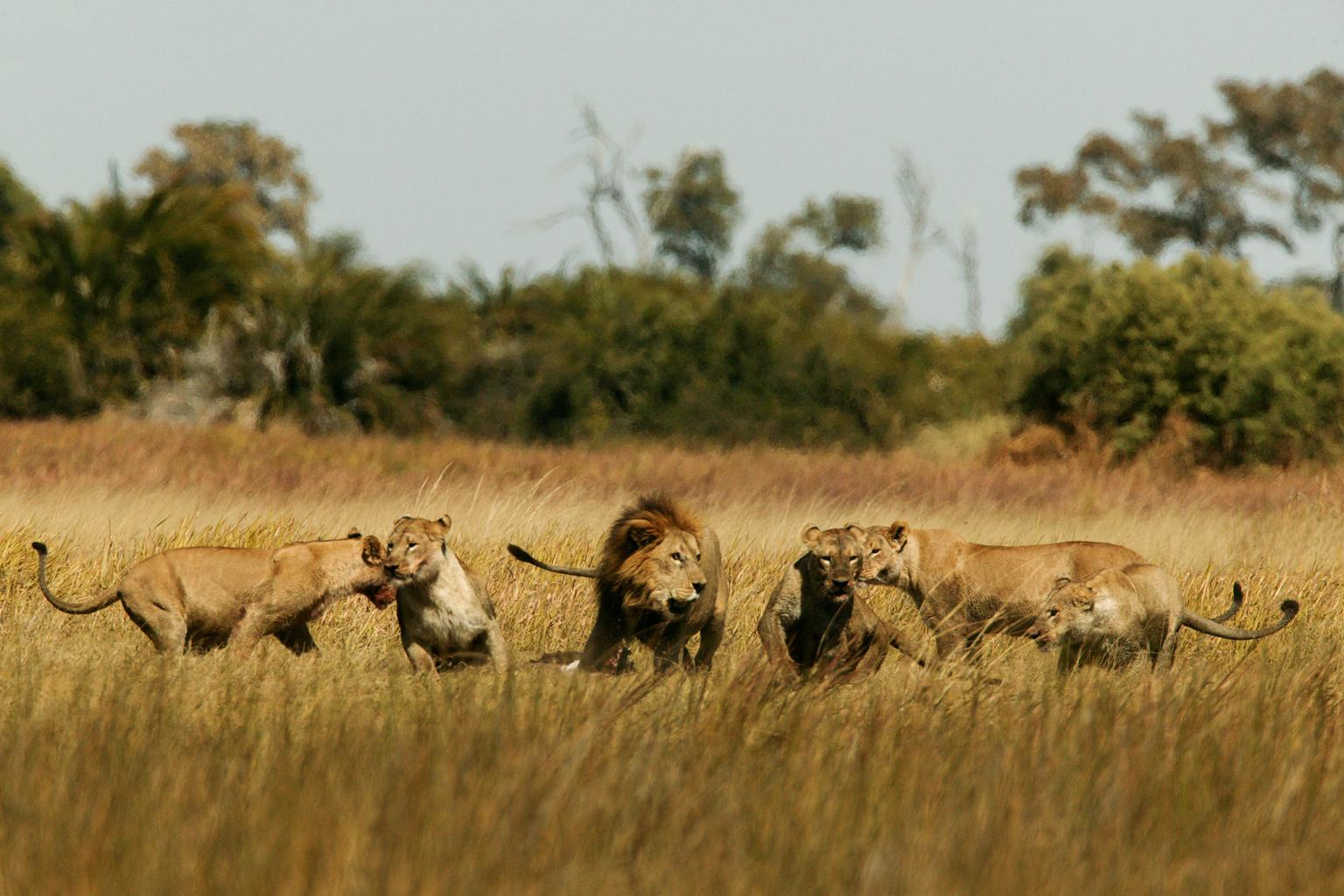 Lions play in the Okavango Delta