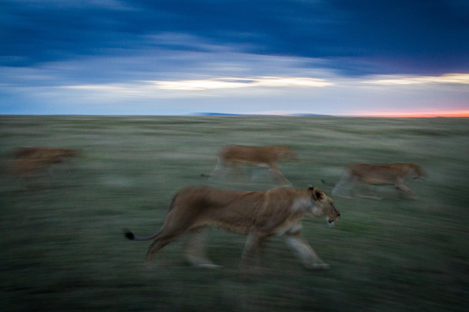 Lions search for prey in Serengeti National Park
