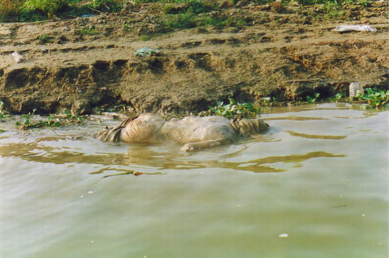 A corpse floating in the Ganges River3