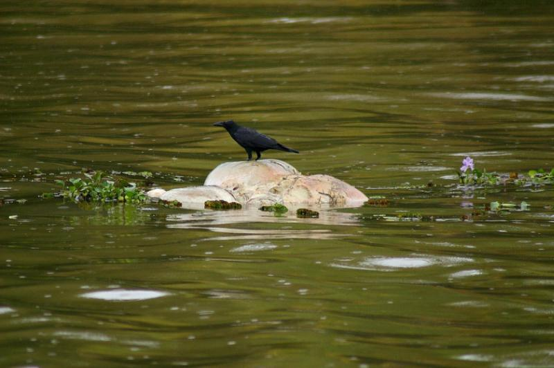 A crow standing on a floating rotting corpse