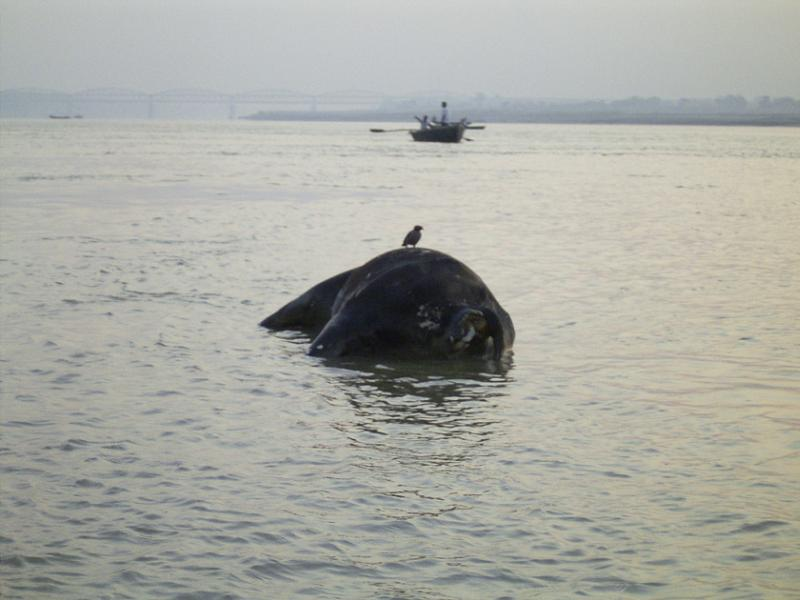 Animal corpses in ganges
