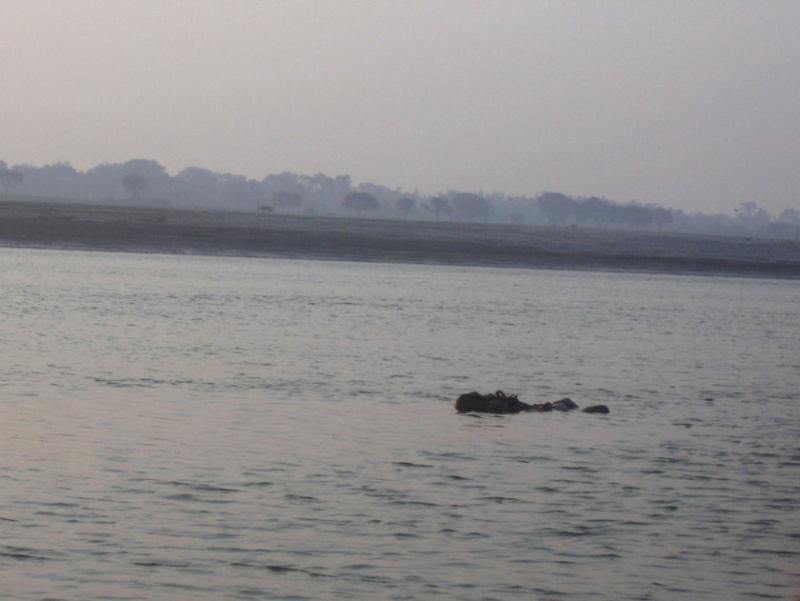 Floating corpses in ganges