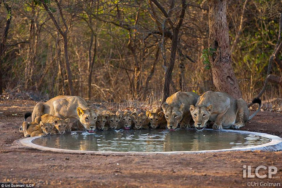 Asiatic Lion pictures by Uri Golman  7