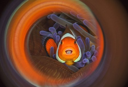 Clownfish-Swirl-in-Indonesia-commended-in-Macro-category
