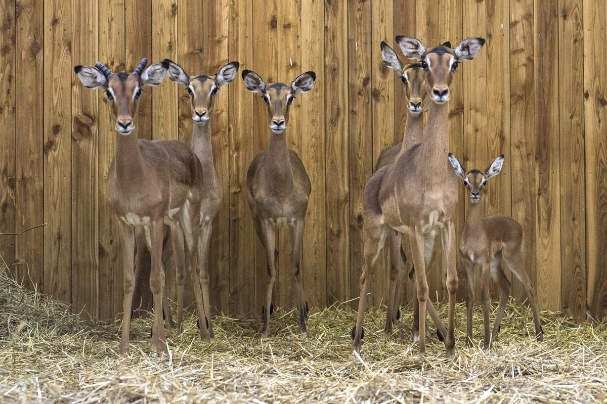 A 12-day old impala calf stands and fellow impalas in their Veszprem Zoo enclosure in Veszprem, Hungary