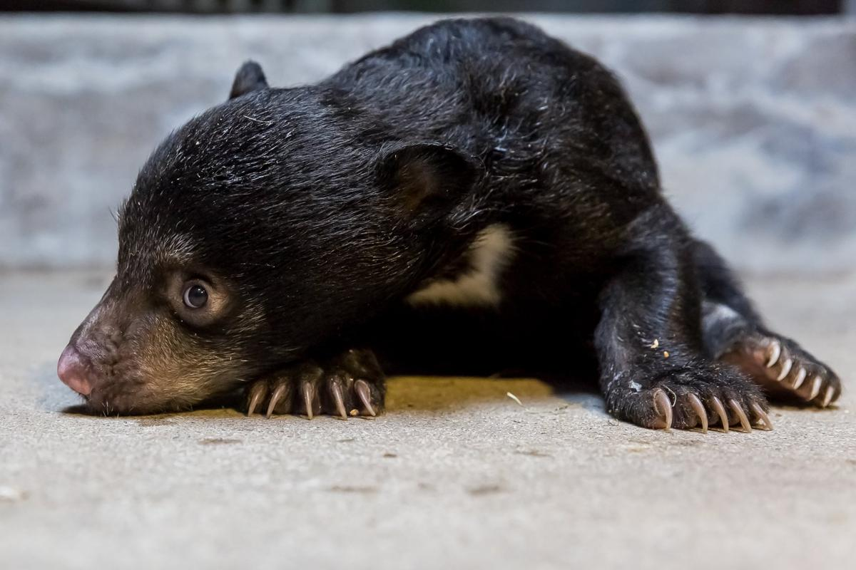 A Sloth bear cub (Melursus ursinus) in Berlin, Germany