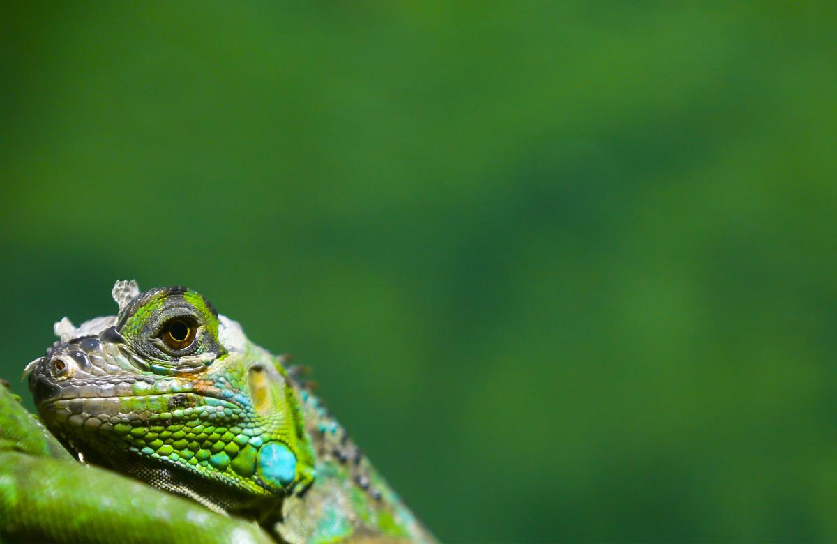 A green iguana sits at the zoo of San Salvador, El Salvador