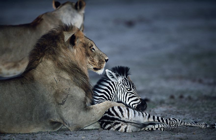 When the Lion Lies Down With the Foal, Chobe national park, Botswana by Adrian Bailey