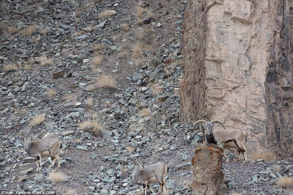 Inger Vandyke Snow Leopard Photograph - Spot the Mountain Ghost