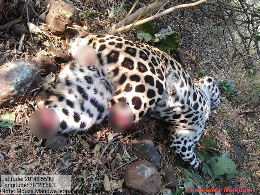 Leopard's Carcass Found in Maharashtra with its Head and Paws Mercilessly Severed!