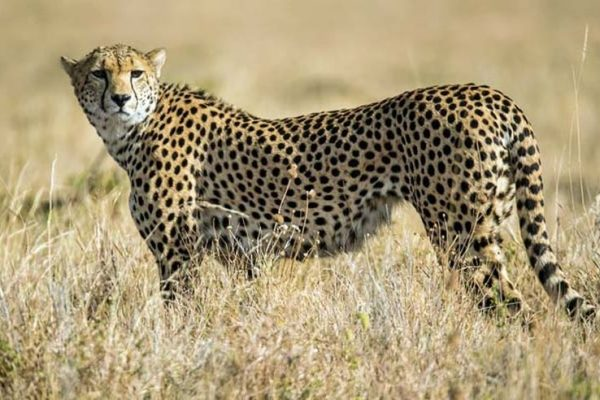 Supreme Court Allows NTCA to Introduce African Cheetahs in Indian Wilderness