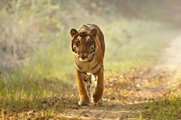 Construction of Road Connecting Jim Corbett and Rajaji Tiger Reserve to Commence Soon