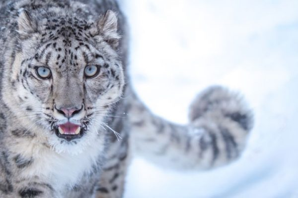 Increased Snow Leopard Population in Himachal Pradesh Brings Joy to Conservationists