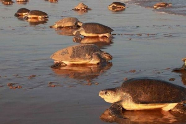 With Humans in Lockdown, Olive Ridley Turtles Return for Nesting on Odisha Beach