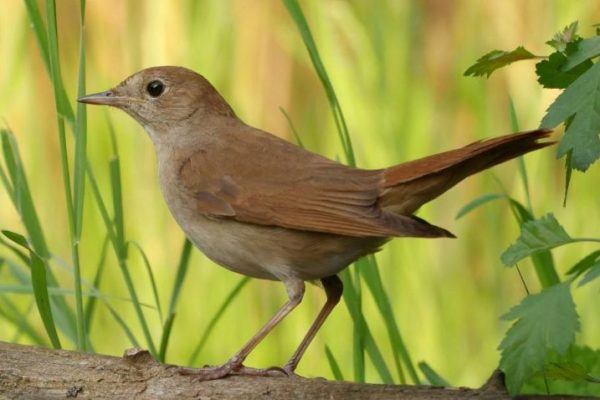 Climate Change Is Affecting Anatomy and Migration Patterns of Nightingale Bird