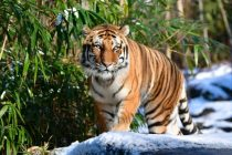 Tiger at Bronx Zoo in New York City Tests Positive for COVID-19 Coronavirus