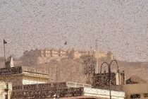 Swarms of Locusts Wreaking Havoc in Several States of India