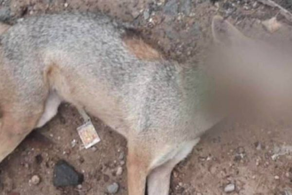 Barbaric Killing of A Jackal with Meat Wrapped Explosives Induces Anger