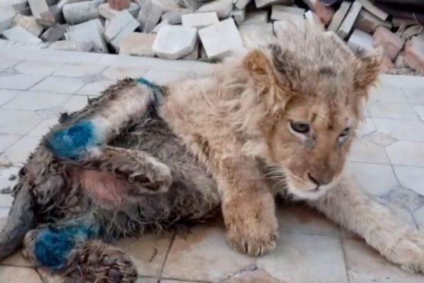 Cruel Photographer Broke a Lion Cub's Legs for Tourists taking Selfies