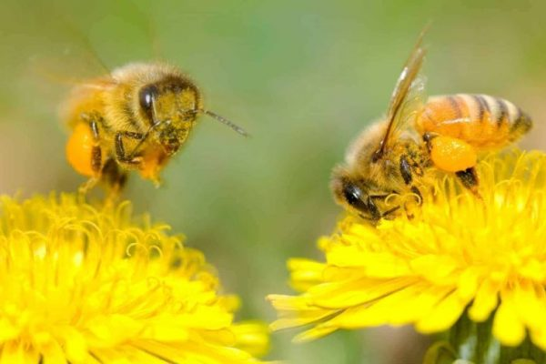 Wild Bees Pollinate Over $1.5 Billion Worth of Crops in North America, A Study