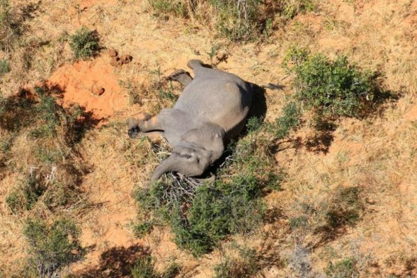 Botswana Faces Conservation Disaster as 275 Elephants Mysteriously Die