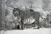Caspian Tiger: Could the Big Cat make a Comeback from Extinction?