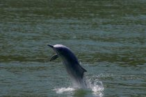 Murder of Gangetic Dolphin in Utter Pradesh