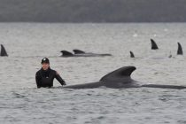 Rescuers Attempt to Save Stranded Whales on Sandbar off Tasmania