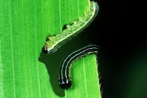 Genetically Modified Caterpillar Could be Potent Solution to Fight Farm Plague