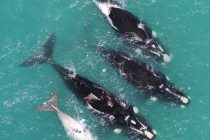 Scientists Voice Concerns over Imminent Extinction Risk to Whales