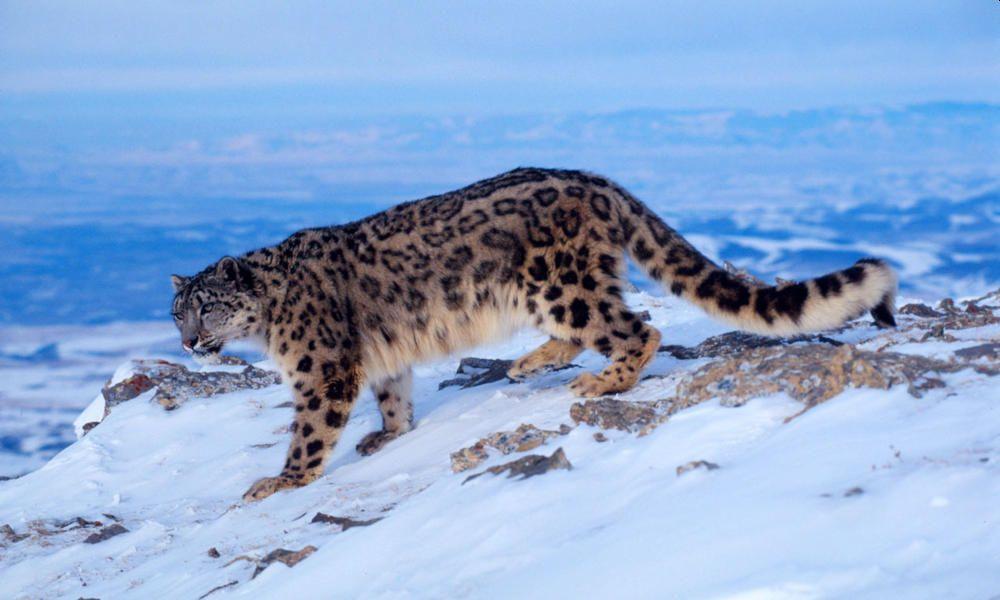 Snow Leopard Habitat Shrinks amid Climate Change Crisis