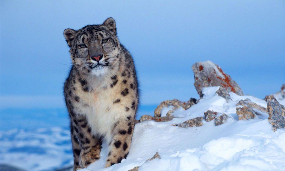 73 Endangered Snow Leopards Live in Himachal Pradesh, Finds a Survey