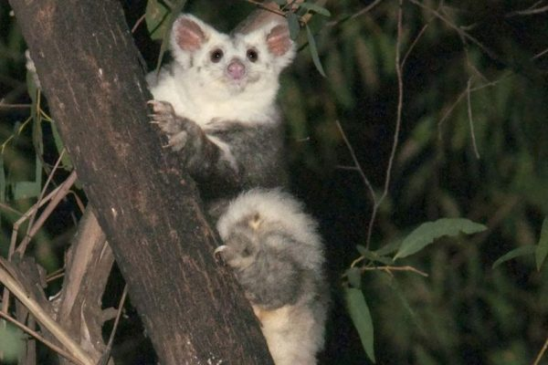 Two New Species of Greater Gliders Discovered in Australia