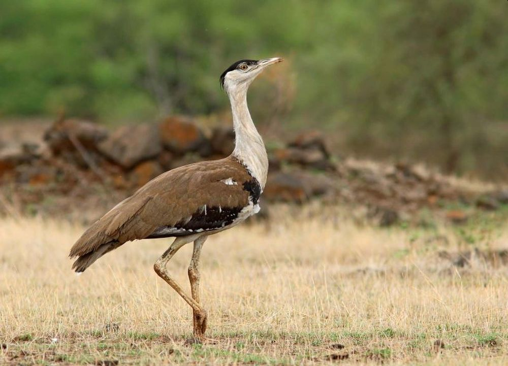 Flap-Like Diverters Installed on Live Wires to Protect Great Indian Bustards