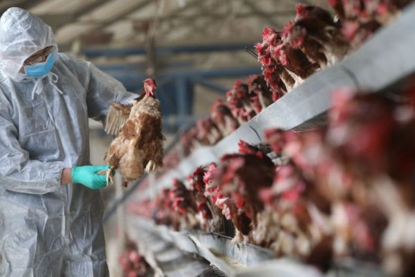 Bird Flu Increases Death Toll in Several States in India, Authorities at Alert